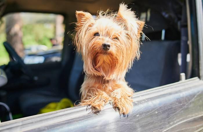 Die Fahrt im Auto ist für die Fellnase die verträglichste Art zu Reisen. (Foto: shutterstock - Vershinin89)